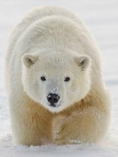 Картинка полярный медведь (Polar Bear) 240x320 бесплатно