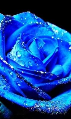 Картинка голубая роза (Blue rose) 240x400 бесплатно скачать