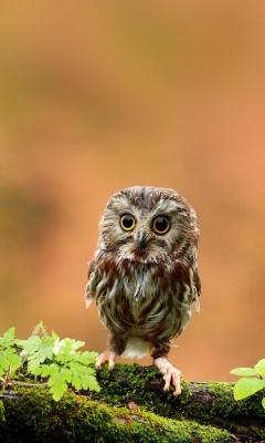 Картинка крошечная сова (Tiny Owl) 240x400 для телефона