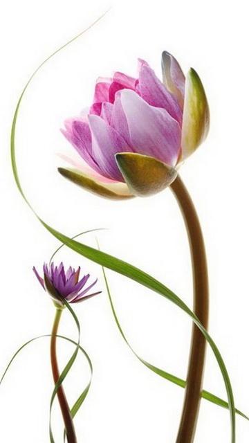 Картинка цветок Лотос (flower Lotus) 360x640 бесплатно для телефона