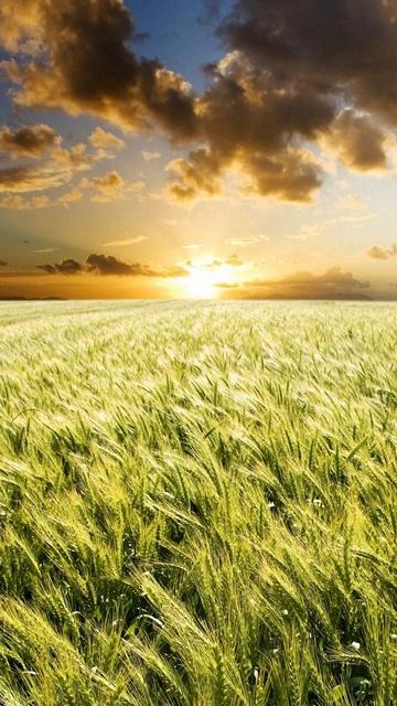 Картинка пшеничное поле (Wheat field) 360x640