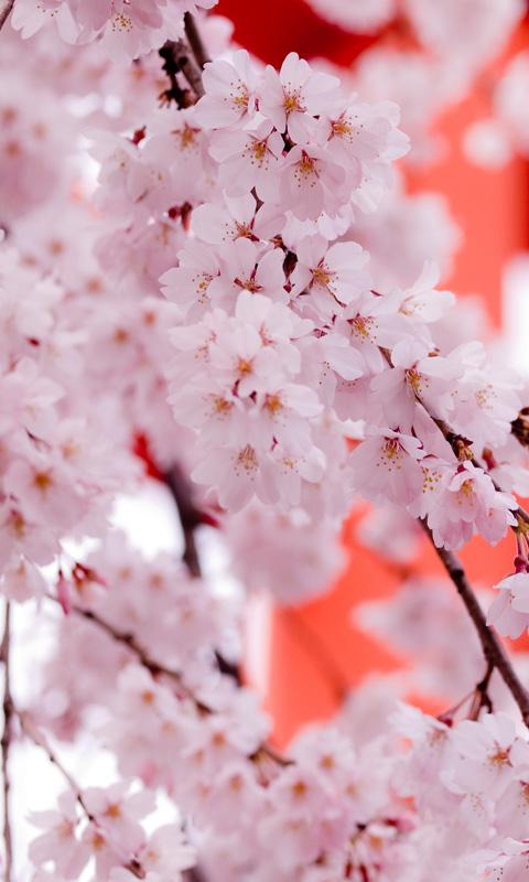 Картинка цветущая сакура (blooming sakura) 480x800 для смартфона