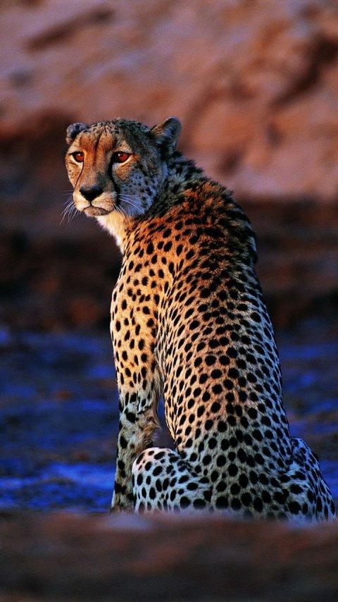 Картинка леопард (Leopard) 480x854 для телефона