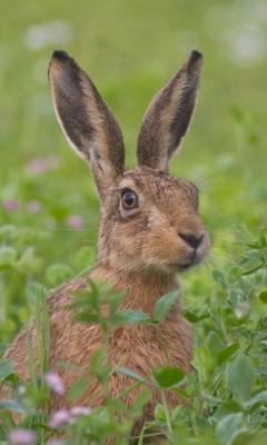 Картинка кролик в траве 240x400
