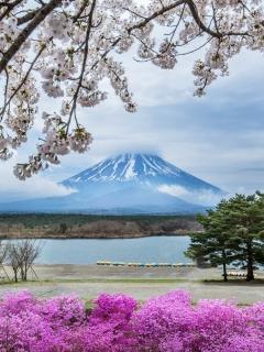 Фудзияма, цветы, деревья, сакура, гора, весна, Япония 240x320 для телефона