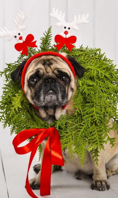 Собака, мопс, венок, рыжий, новый год, повязка на голову